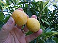 Two ripe and oblong Loquat fruits.JPG