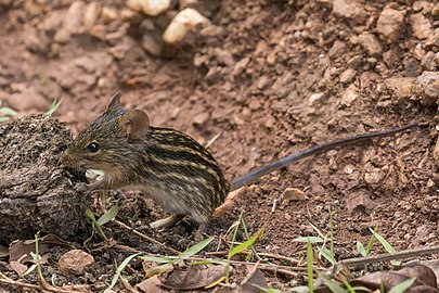 Typical striped grass mouse (Lemniscomys striatus).jpg