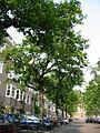 Ulmus glabra Cornuta (amsterdam milletstraat) 030601b.jpg