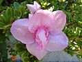 Unidentified Rhododendron.003 - Campañó.jpg