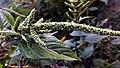 Unidentified plant in Jamburi Field (02).jpg
