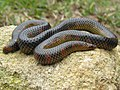 Uropeltis maculata is a borrowing snake from South India.jpg