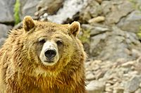 Ursus arctos horribilis - Zoo Sauvage de Saint-Félicien - 2016-07-19 (1).jpg