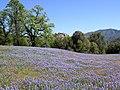 Valley Oak RNA (3727000993).jpg