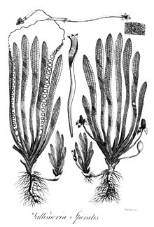 Vallisneria spiralis Erasmus Darwin 1789.jpg  Vallisneria - Chi Vallisneria 220px Vallisneria spiralis Erasmus Darwin 1789