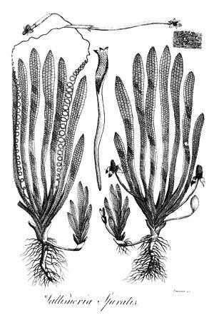 Vallisneria - Image: Vallisneria spiralis Erasmus Darwin 1789