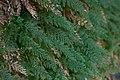 Vandenboschia boschiana.jpg