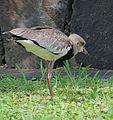 Vanellus chilensis - Flickr - Dick Culbert.jpg