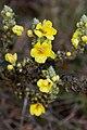 Verbascum flowers (20141128).jpg