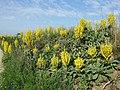 Verbascum speciosum sl22.jpg