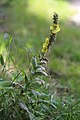 Verbascum thapsus (36847882435).jpg