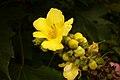 Verbascum thapsus (6999786762).jpg