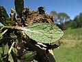 Verbascum virgatum leaf7 NT (16805729602).jpg