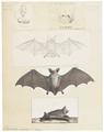 Vespertilio murinus - 1700-1880 - Print - Iconographia Zoologica - Special Collections University of Amsterdam - UBA01 IZ20800123.tif
