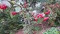 Viburnum betulifolium (SG) (32648031750).jpg