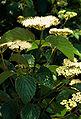 Viburnum dentatum flowers.jpg
