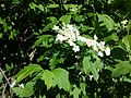 Viburnum opulus sl9.jpg