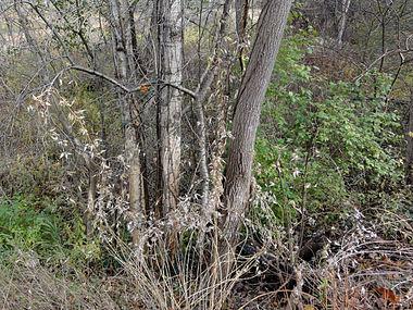 Vincetoxicum rossicum SCA-05297.jpg