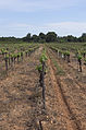 Vineyard, Pinet, Hérault 10.jpg