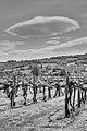 Vineyard - Albinea (RE) Italy - April 25, 2012 - panoramio.jpg
