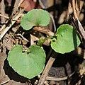 Viola keiskei (leaf s3).jpg
