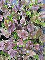 Viola yezoensis - Flickr - peganum.jpg