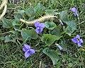 Violet (Viola sp.) - Kitchener, Ontario 01.jpg