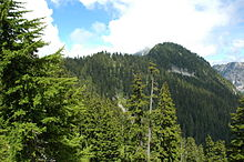 An evergreen forest growing on a steep mountainside