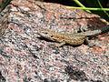 Viviparous lizard (14572163846).jpg