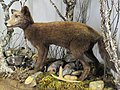 Vulpes lagopus (summer fur) - Finnish Museum of Natural History - DSC04644.JPG