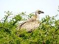 Vulture (6521932707).jpg