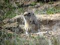 Washington Ground Squirrel - Flickr - GregTheBusker.jpg