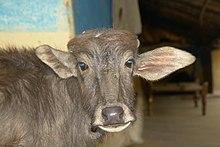 Water buffalo - Wikipedia
