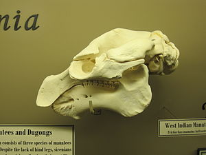 West Indian manatee - Skull of a West Indian manatee on display at The Museum of Osteology, Oklahoma City, Oklahoma