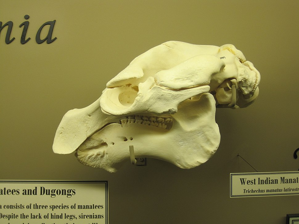 West Indian Manatee Skull