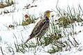 Western Meadowlark (Sturnella neglecta) (20162761618).jpg