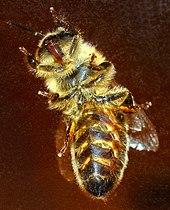 Le langage des abeilles dans ABEILLES 170px-Western_honeybee_bottom_%28aka%29