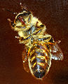 Western honeybee bottom (aka).jpg