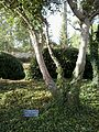 Westerweel tree.jpg