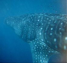 Underwater photo of left side whale shark from behind showing many spots, faint stripes, and an extended triangular pectoral fin