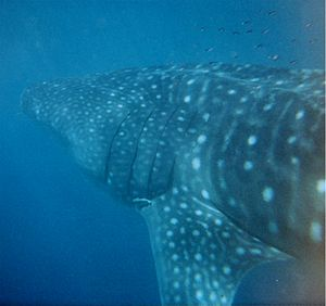 Ningaloo Coast - A whale shark at the reef located off the Ningaloo Coast