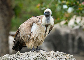 White-backed Vulture Metrozoo 1.jpg