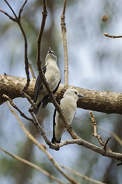 White-headed Vanga - Ankarafantsika - Madagascar S4E9186 (15292419501).jpg