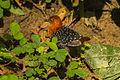 White-spotted Flufftail near Kakum NP - Ghana 14 S4E2889 (16010066588).jpg