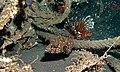 White-spottef Puffer (Arothron hispidus) (6061924456).jpg