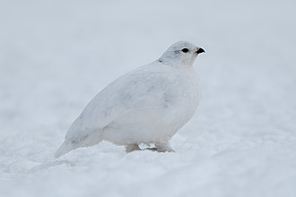 White-tailed ptarmigan - A white-tailed ptarmigan in fully-white winter plumage.