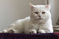 White Cat by Sebaso 2.jpg