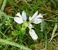 White Milkwort. Polygala sp. - Flickr - gailhampshire (1).jpg