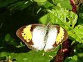 White Orange Tip Ixias marianne Female UP by Dr. Raju Kasambe DSCN2451 (1).jpg