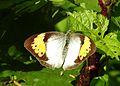 White Orange Tip Ixias marianne Female UP by Dr. Raju Kasambe DSCN2451 (2).jpg